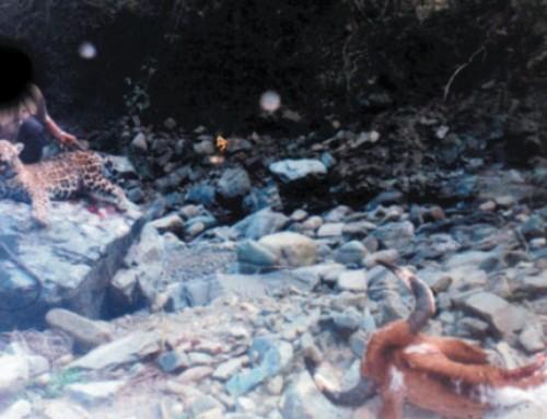 Identificación de conflictos yaguareté-hombre en el norte de la provincia de Salta