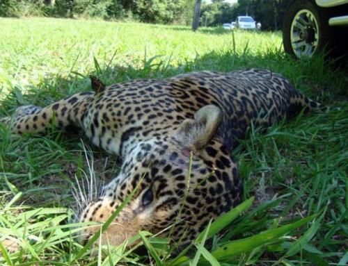 Atropellamiento de fauna en rutas de Misiones.