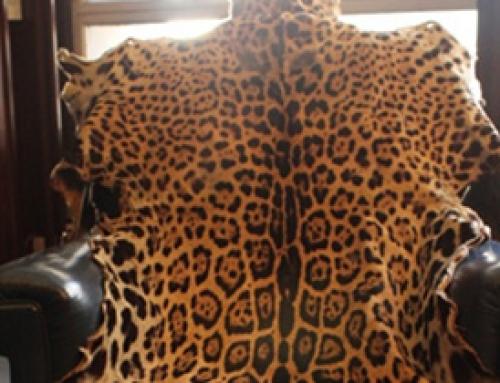 Multan con Medio Millón de pesos a comerciante que vendía piel de Yaguareté