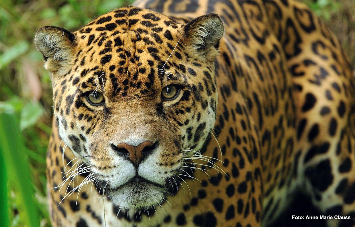 El Yaguaret  Panthera onca