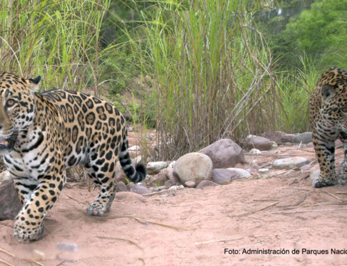 Se aprobó el Plan Estratégico para la Conservación del Yaguareté en las Yungas
