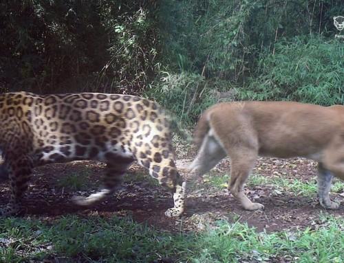"""""""Presencia y actividad de yaguareté (Panthera onca) y puma (Puma concolor) en el Parque Provincial Salto Encantado y alrededores, Misiones, Argentina""""."""