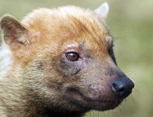 First photos of the Bush Dog (Speothos venaticus) with camera trap in Argentina.