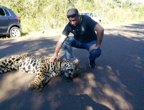 La búsqueda de soluciones al atropellamiento de yaguaretés en las rutas de Misiones