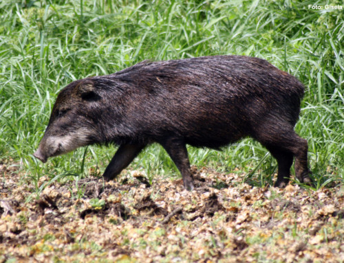 Recover what was lost: Reintroduction lipped peccary in the Salto Encantado Provincial Park, Misiones.