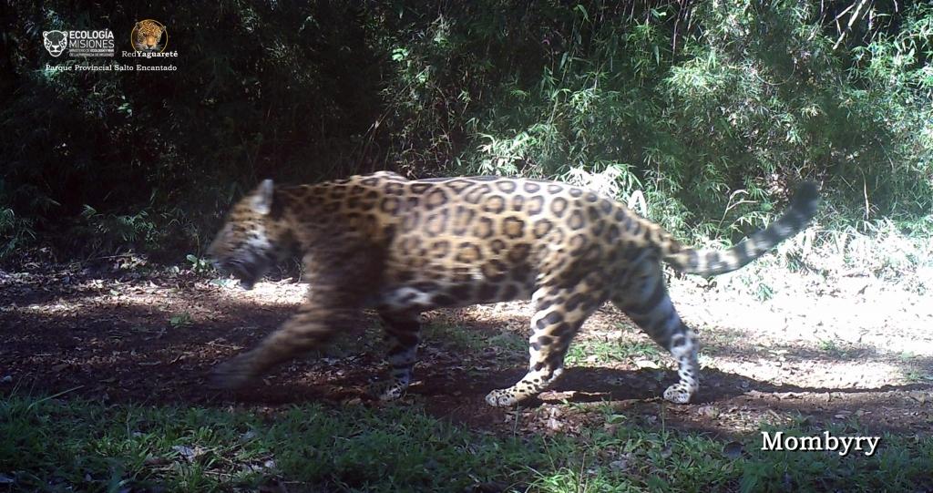 Mombyry, uno de los Yaguaretés residentes en el área que es monitoreado desde el año 2013.