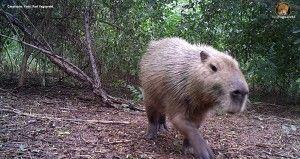 Carpincho o capibara (Hydrochoerus hydrochaeris).