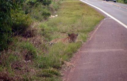 Otro Yaguareté fue atropellado muy cerca de Puerto Iguazú, en la ruta Nacional Nro. 12