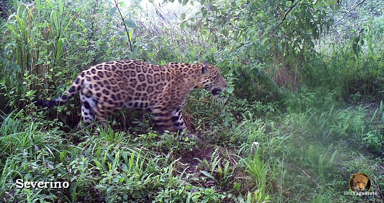 Seasonal use of the upper montane forests by the jaguar in northern Argentina