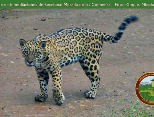 Yaguareté se dejó ver en Calilegua.