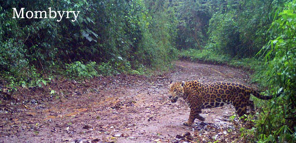 No Jaguar attacks to cows in 2017, in adapted fences in Misiones, Argentina.