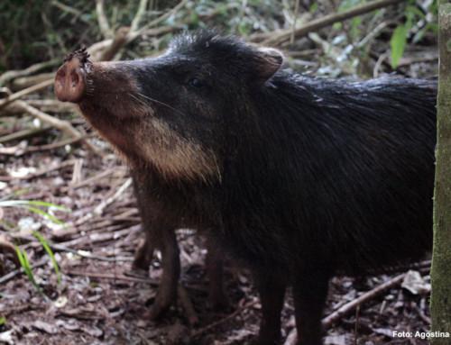 Recuperar lo perdido: luego de 10 años, los Pecaríes labiados volvieron al Valle del Cuñá Pirú.