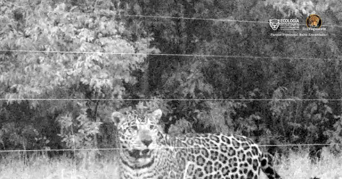 Otro ganadero fue indemnizado por predaciones de Yaguareté.
