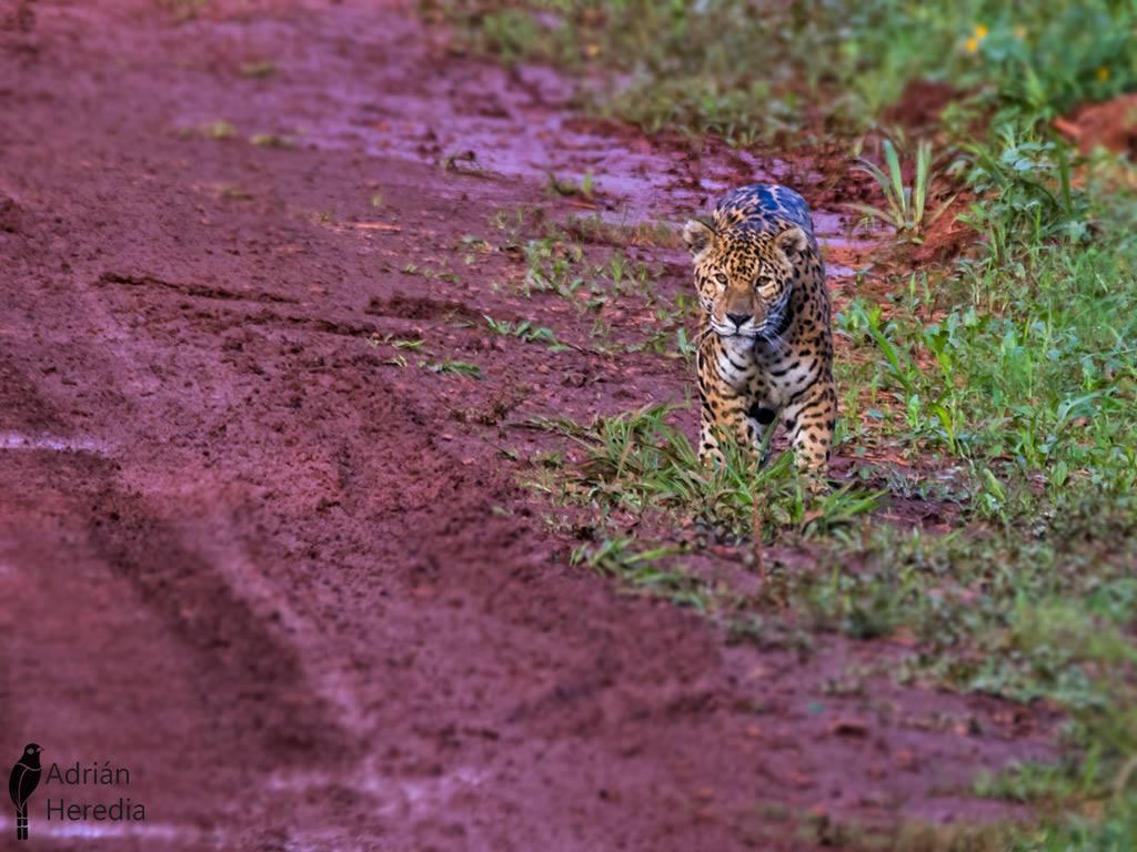 Fotografían un Yaguareté en el Parque Nacional Iguazú, en Misiones.