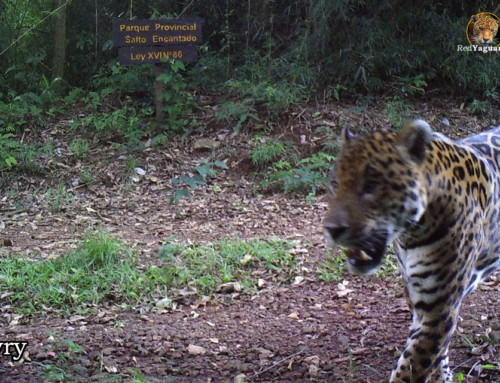 Jaguar population grows in Misiones: there are already 90