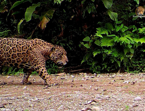 Una gran expedición para monitorear Yaguaretés en la selva salteña.