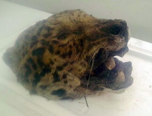 Mataron un Yaguareté en Chaco y la extinción sobrevuela la ecoregión…