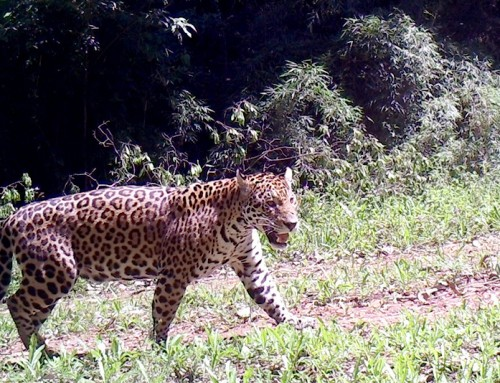 In coexistance with livestock, jaguar population is increasing in Salto Encantado.